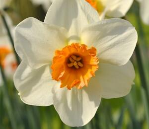 Narcis malokorunný 'Barret Browning' - Narcissus Small Cupped 'Barret Browning'