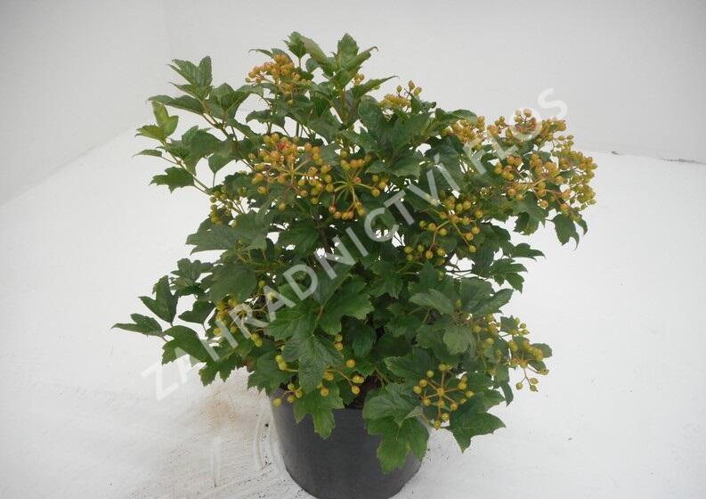 Kalina obecná 'Compactum' - Viburnum opulus 'Compactum'