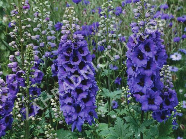 Ostrožka 'Dark Blue/Dark Bee' - Delphinium Magic Fountain 'Dark Blue/Dark Bee'