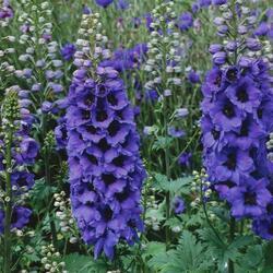 Ostrožka 'Dark Blue/Dark Bee' - Delphinium Magic Fountain 'Dark Blue/Dark Bee'
