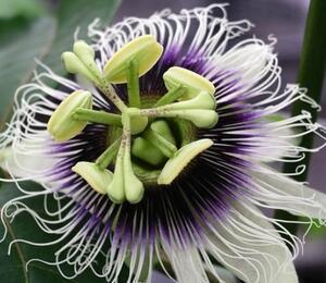 Mučenka edulis 'Suntropics' - Passiflora edulis 'Suntropics'