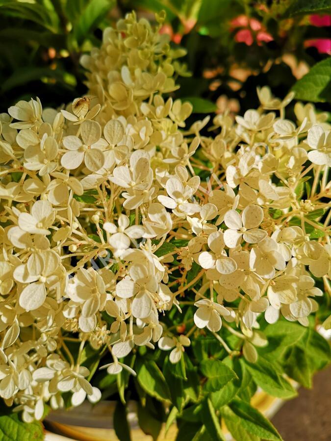 Hortenzie latnatá 'Bobo' - Hydrangea paniculata 'Bobo'