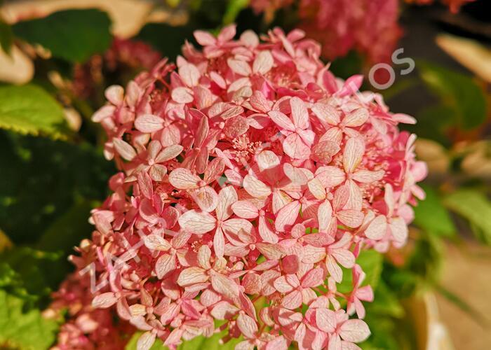 Hortenzie stromečkovitá 'Pink Annabelle' - Hydrangea arborescens 'Invincibelle' ® Pink Annabelle