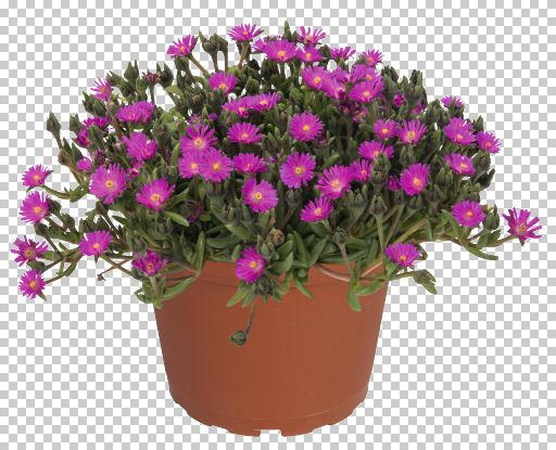 Kosmatec 'Jewel of Desert Opal' - Delosperma hybrida 'Jewel of Desert Opal'