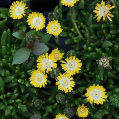 Kosmatec 'Jewel of Desert Peridot' - Delosperma hybrida 'Jewel of Desert Peridot'