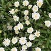 Kosmatec 'Jewel of Desert Moon Stone' - Delosperma hybrida 'Jewel of Desert Moon Stone'