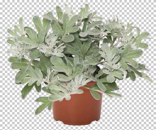 Pelyněk stříbřitý 'Silver Brocade' - Artemisia stelleriana 'Silver Brocade'