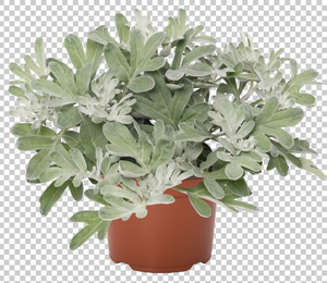 Artemisia stelleriana 'Silver Brocade' - Artemisia stelleriana 'Silver Brocade'