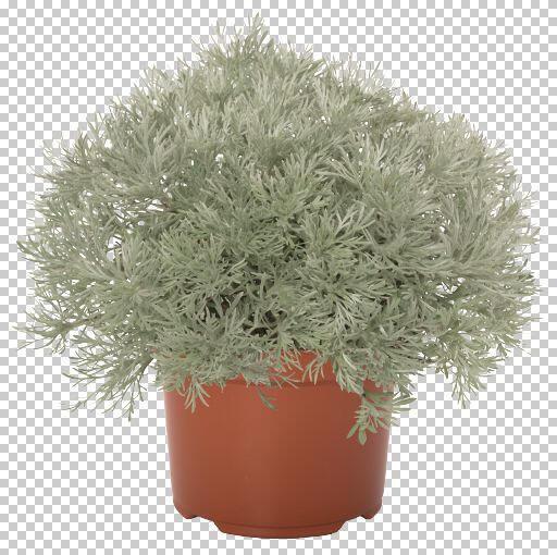 Pelyněk Schmidtův 'Silver Mound' - Artemisia schmidtiana 'Silver Mound'