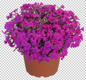 Plamenka šídlovitá 'Spring Hot Pink' - Phlox subulata 'Spring Hot Pink'