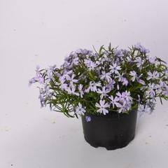 Plamenka šídlovitá v zahradě 'Spring Lilac' - Phlox subulata 'Spring Lilac'
