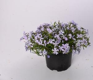 Plamenka šídlovitá 'Spring Lilac' - Phlox subulata 'Spring Lilac'