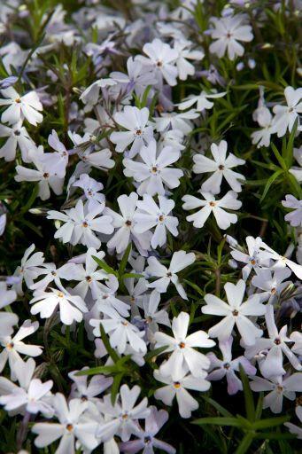 Plamenka šídlovitá 'Spring Lavender' - Phlox subulata 'Spring Lavender'