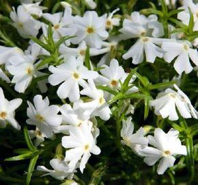 Plamenka šídlovitá 'Spring White' - Phlox subulata 'Spring White'
