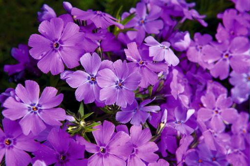 Plamenka šídlovitá 'Spring Purple' - Phlox subulata 'Spring Purple'