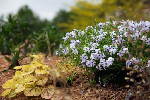 Plamenka šídlovitá 'Spring Blue' - Phlox subulata 'Spring Blue'