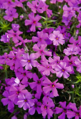 Plamenka šídlovitá 'Spring Dark Pink' - Phlox subulata 'Spring Dark Pink'