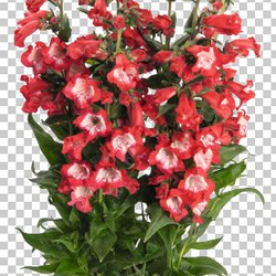 Dračík 'Pep Talk Red' - Penstemon hartwegii 'Pep Talk Red'
