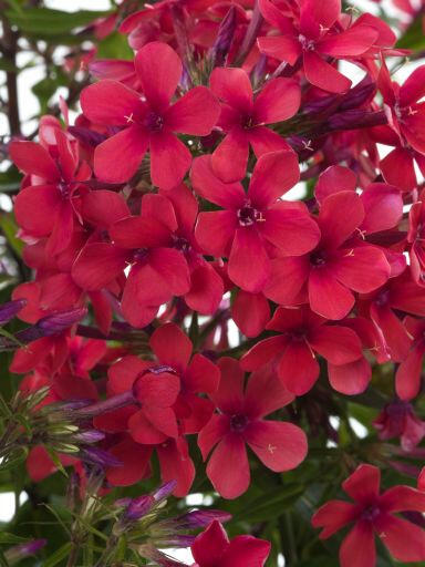 Plamenka latnatá 'Early Red' - Phlox paniculata 'Early Red'