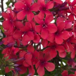 Plamenka latnatá 'Early Red' - Phlox paniculata 'Early Red'