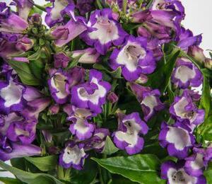 Dračík 'Pep Talk Purple' - Penstemon hartwegii 'Pep Talk Purple'