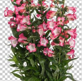 Dračík 'Pep Talk Hot Pink' - Penstemon hartwegii 'Pep Talk Hot Pink'
