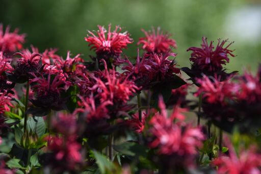 Zavinutka 'Pocahontas Red Rose' - Monarda didyma 'Pocahontas Red Rose'