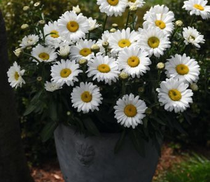 Kopretina velkokvětá 'Sweet Daisy Jane' - Leucanthemum x superbum 'Sweet Daisy Jane'