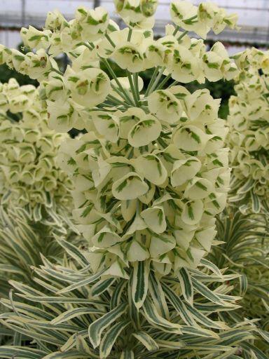 Pryšec 'Tasmanian Tiger' - Euphorbia 'Tasmanian Tiger'