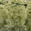 Pryšec hnědokvětý 'Tasmanian Tiger' - Euphorbia characias 'Tasmanian Tiger'