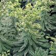 Pryšec 'Glacier Blue' - Euphorbia 'Glacier Blue'