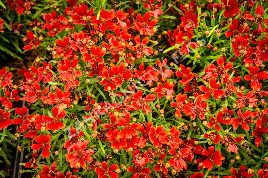 Krásnoočko 'Cherry Pie' - Coreopsis basalis 'Cherry Pie'