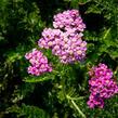 Řebříček obecný 'Colorado' - Achillea millefolium 'Colorado'