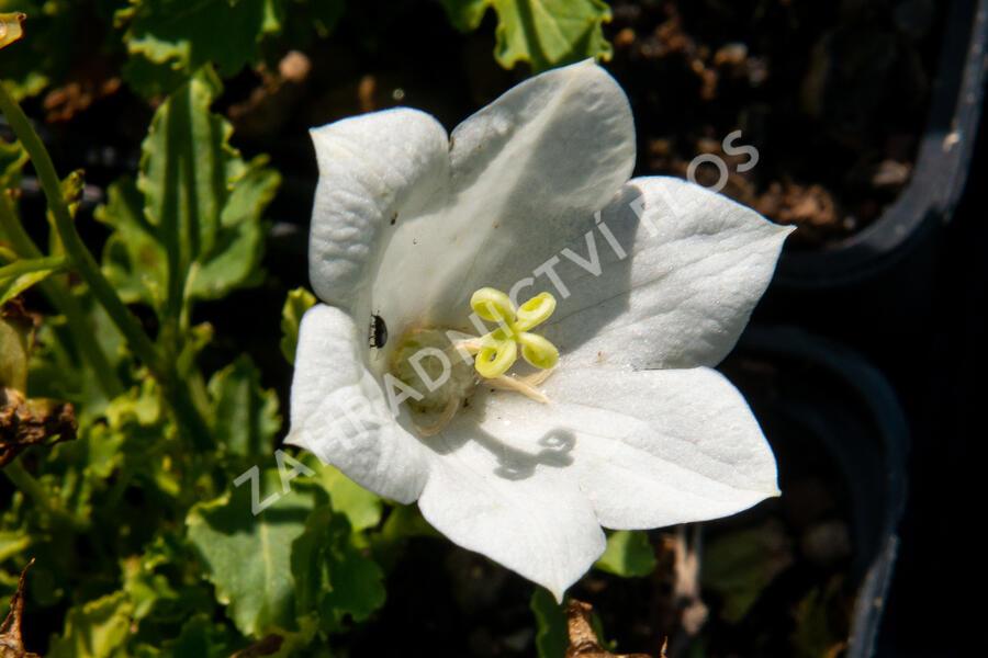Zvonek karpatský 'Pristar White' - Campanula carpatica 'Pristar White'
