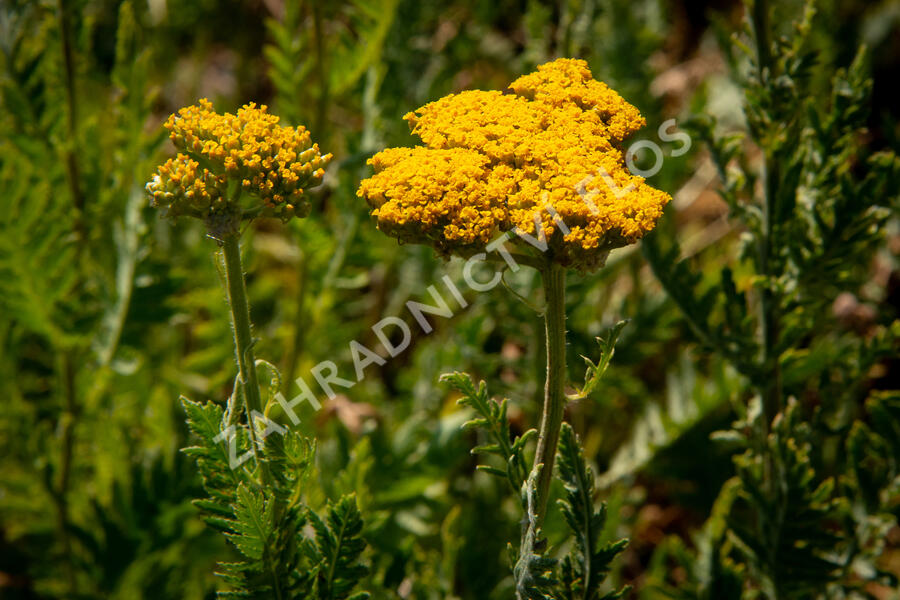 Řebříček tužebníkový 'Cloth of Gold' - Achillea filipendulina 'Cloth of Gold'