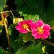 Jahodník stáleplodící 'Ariba Deep Rose' F1 - Fragaria ananassa 'Ariba Deep Rose' F1