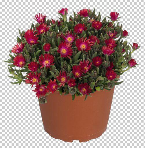 Kosmatec 'Jewel of Desert Garnet' - Delosperma hybrida 'Jewel of Desert Garnet'