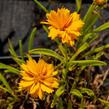 Krásnoočko velkokvěté  'Corey Single Gold ' - Coreopsis grandiflora 'Corey Single Gold '