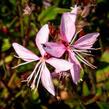 Svíčkovec 'Butterfly Appleblossom' - Gaura lindheimeri 'Butterfly Appleblossom'