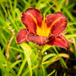 Denivka 'Purplelicious' - Hemerocallis 'Purplelicious'