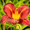 Denivka 'Purplelicious' - Hemerocallis 'Purplelicious'