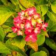 Hortenzie velkolistá 'LK 49' - Hydrangea macrophylla 'LK 49'