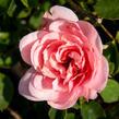 Růže mnohokvětá 'Pink Fire' - Rosa MK 'Pink Fire'