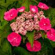 Hortenzie velkolistá 'Zaunkoenig' - Hydrangea macrophylla 'Zaunkoenig'