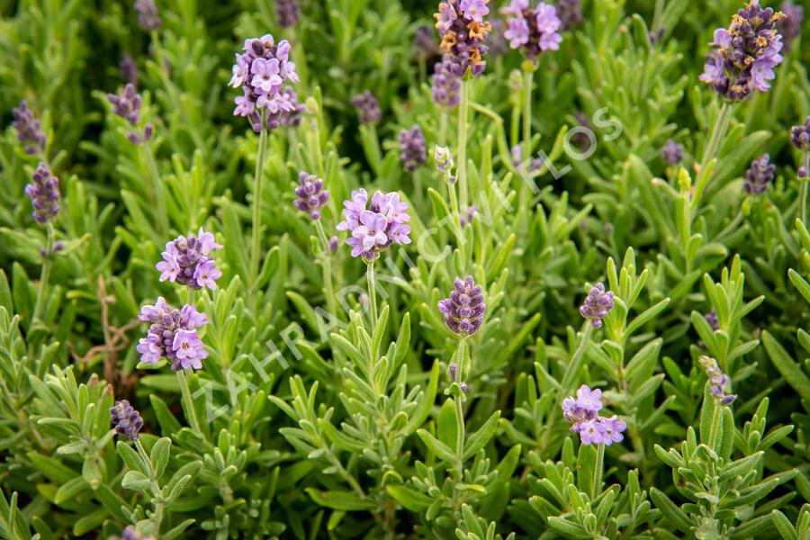 Levandule úzkolistá 'Ellagance Purple' - Lavandula angustifolia 'Ellagance Purple'