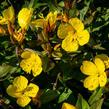 Pupalka křovitá - Oenothera fruticosa