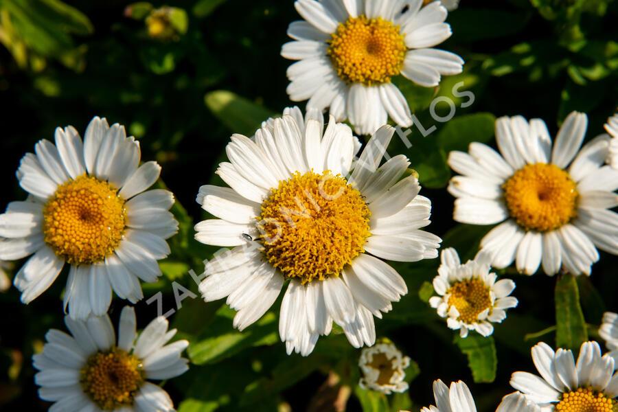 Kopretina největší 'Snow Lady' - Leucanthemum maximum 'Snow Lady'