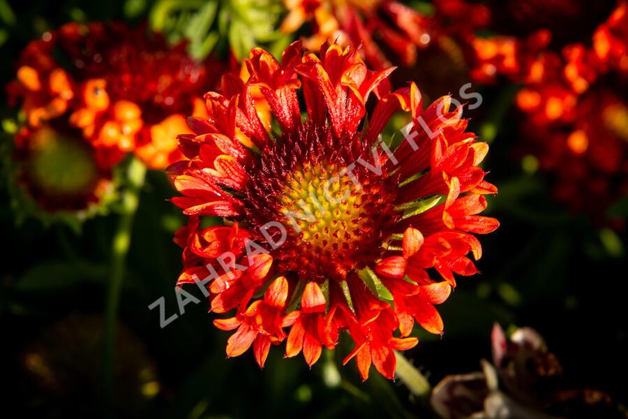 Kokarda velkokvětá 'Fanfare Blaze' - Gaillardia grandiflora 'Fanfare Blaze'