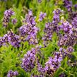 Levandule úzkolistá 'Avignon Early Blue' - Lavandula angustifolia 'Avignon Early Blue'