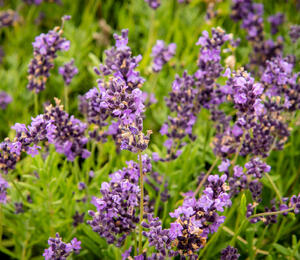 Levandule úzkolistá 'Avignon Early Blue' - Lavandula angustifolia 'Avignon Early Blue'